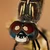 Dragonfly Macro - 1