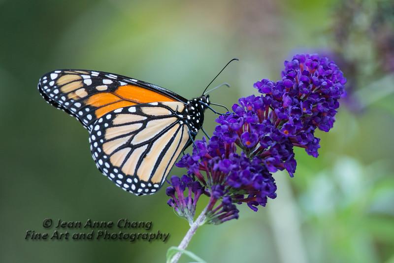 Monarch Butterfly on Butterfly Bush - #1