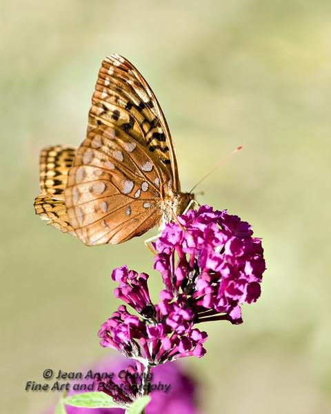 Butterfly on a Butterfly Bush Blossom