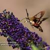 Hummingbird Moth on Butterfly Bush