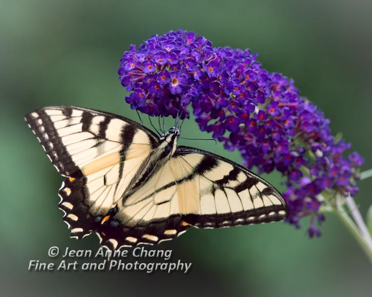 Eastern Tiger Swallowtail Butterfly on Butterfly Bush - 2