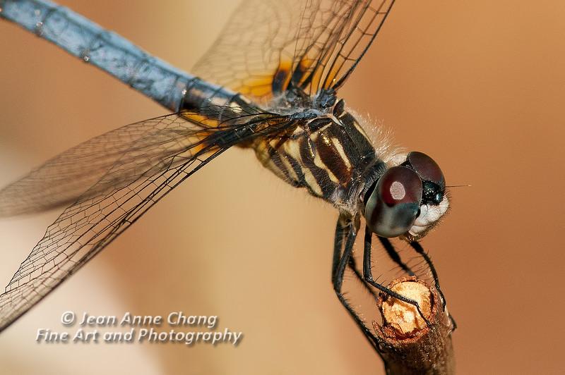 Dragonfly Macro - 3
