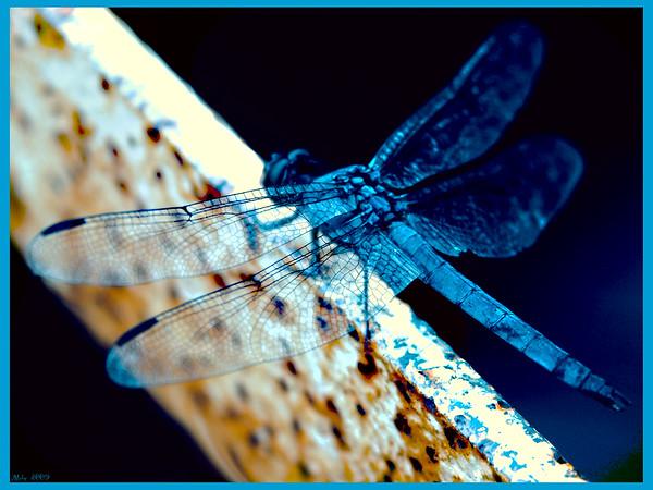 Blue Skimmer, DE