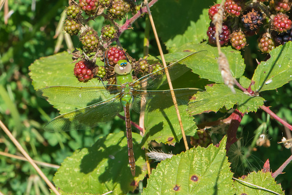 Female Green Darner Dragonfly