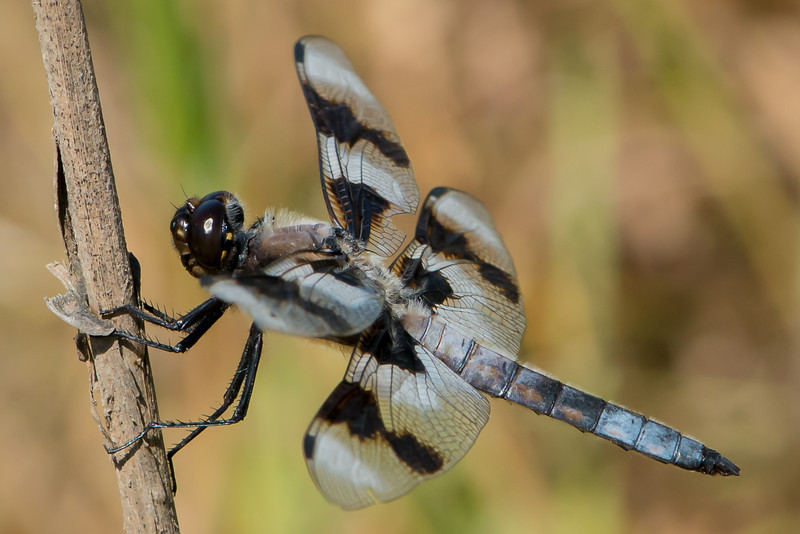 8 spotted Skimmer Dragonfly