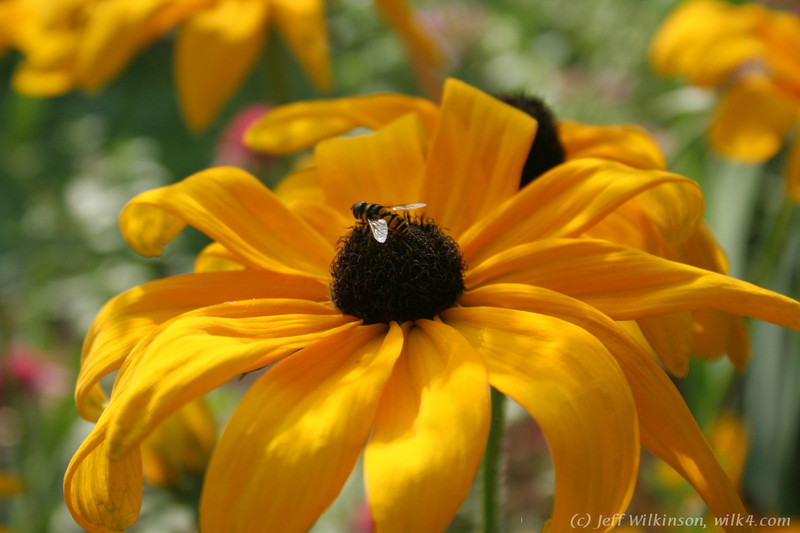 IMG_8032-flower-daisy-or-black-eyed-susan