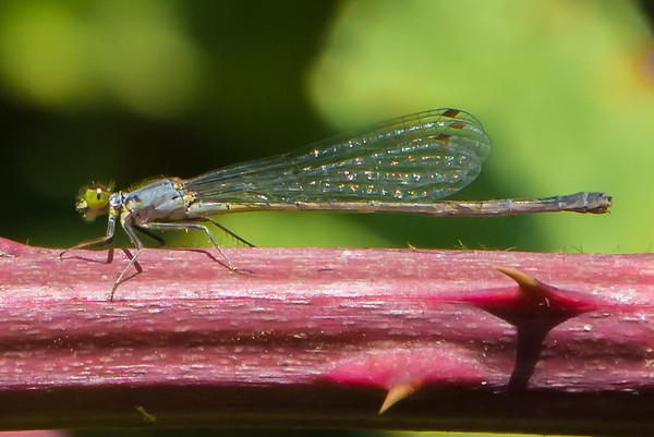 Female Western Forktail