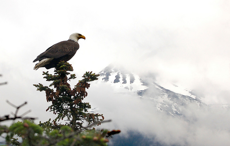 Bald Eagle at Skagway, AK