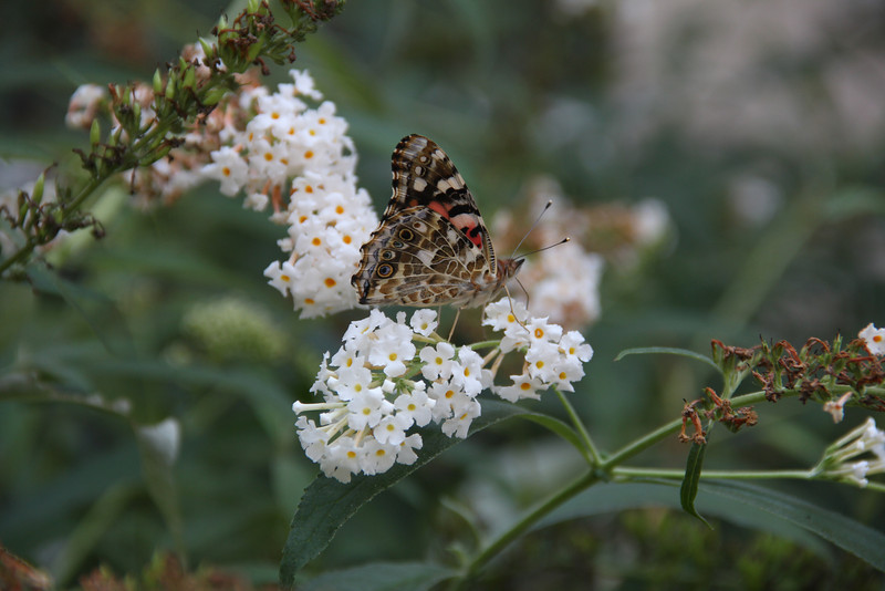 Painted Lady butterfly on a butterfly bush