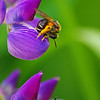 Bee resting on lupin.