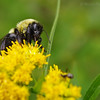 Bumblebee on goldenrod.