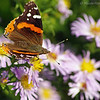 Butterfly on asters.