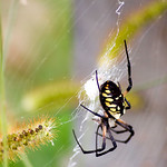 Argiope aurantia (Black & Yellow Garden Spider) - Clinton Lake -De Witt, Illinois