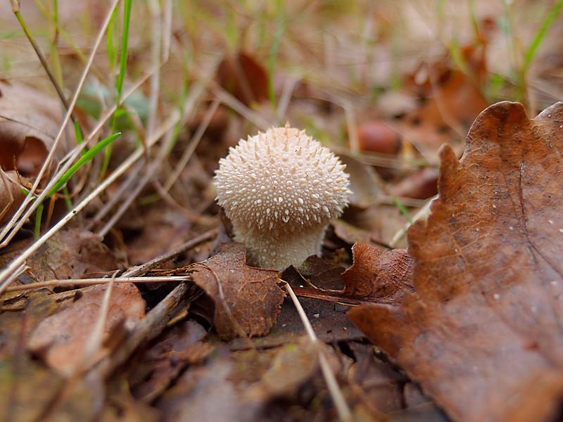 Petit champignon