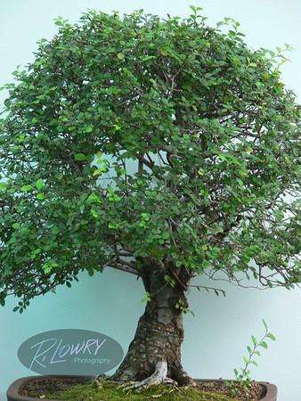 MINERATURE MING TREE