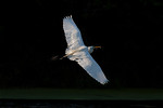 Evening Flight-Special Delivery, Great White Egret - Smith Oaks Rookery, High Island, TX 2013