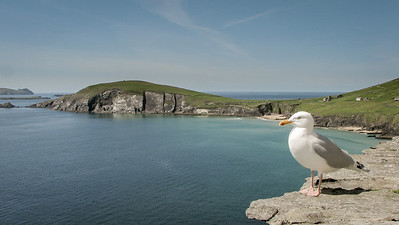 Seagull at the end of the Dingle Peninsula 06.
