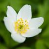 Hvitveis, Anemone nemorosa