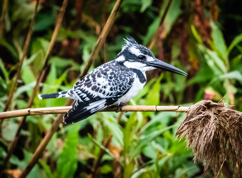 Pied Kingfisher, Hula