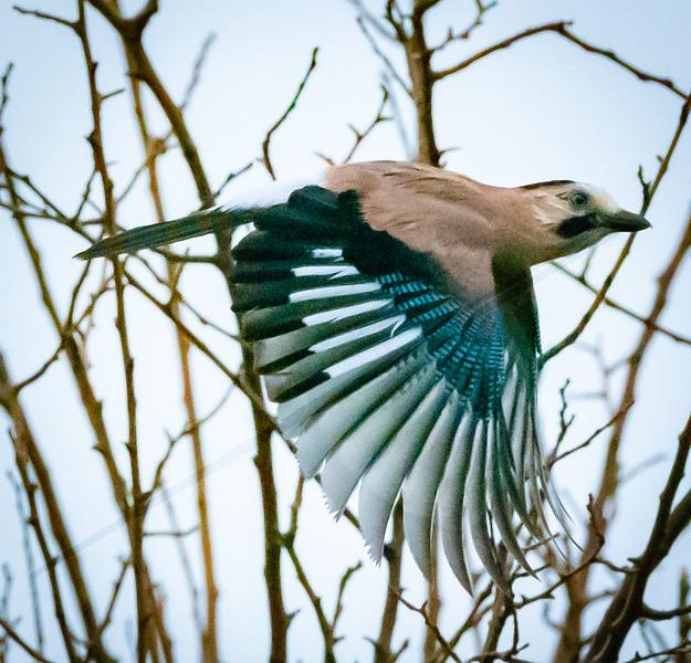 Jay in Flight, Hula