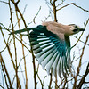 Jay in Flight, Hula