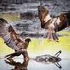 Marsh Harriers, Hula