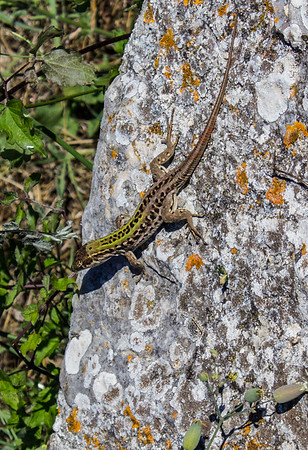 Fence Lizard, Carsulae