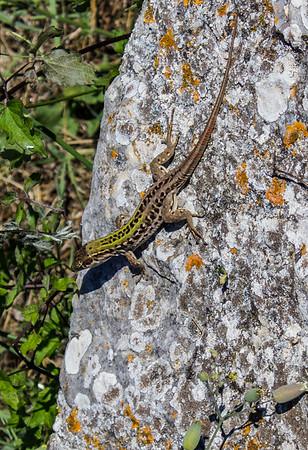 Fence Lizard, Carsulae