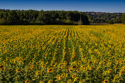 Sunflowers near San Gemini
