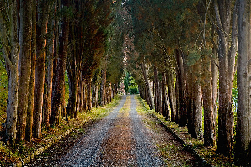 Tree Tunnel - Tuscany