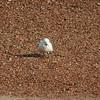 Ivory Gull (17)