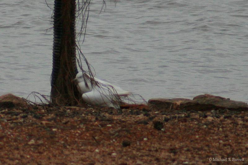 Ivory Gull (39)