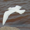 Ivory Gull (21)