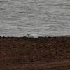 Ivory Gull (34)