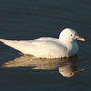 Ivory Gull (5)
