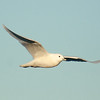 Ivory Gull (11)