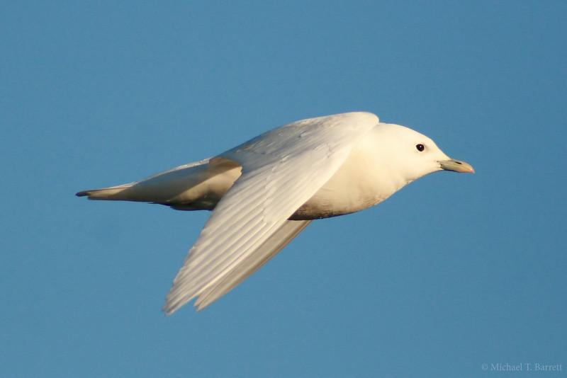 Ivory Gull (14)