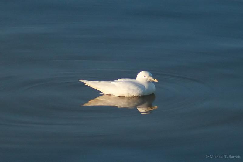 Ivory Gull (3)