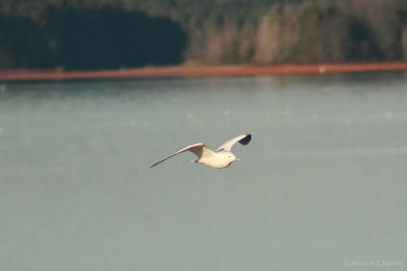 Ivory Gull (9)