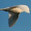 Ivory Gull (15)