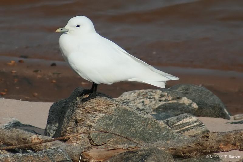 Ivory Gull (19)