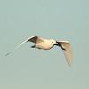 Ivory Gull (10)