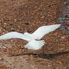 Ivory Gull (22)