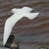 Ivory Gull (20)