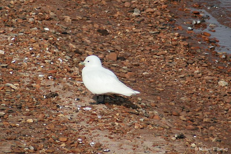 Ivory Gull (24)