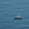 Ivory Gull (1)