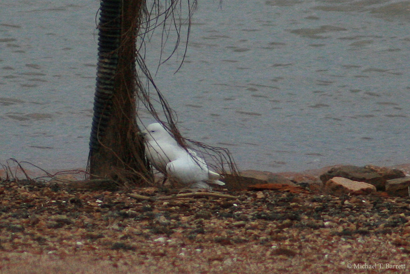 Ivory Gull (41)