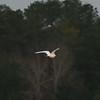 Ivory Gull (26)