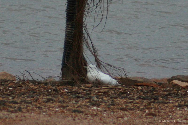 Ivory Gull (40)