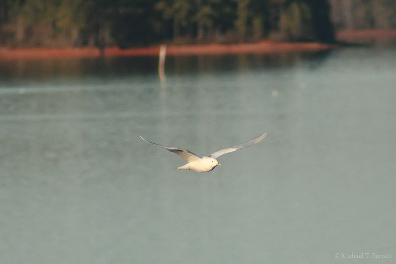 Ivory Gull (7)